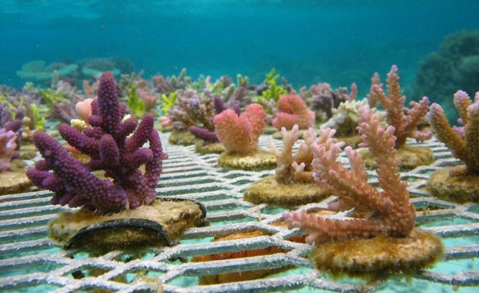 Undersea gardening for coral reefs