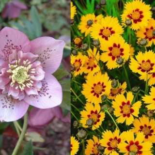 Tough perennial bloomers in the garden