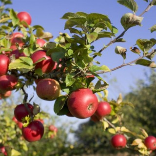 How to plant fruit trees in the fall now