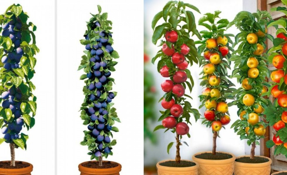 Columnar Fruit Trees Home Mini Orchards