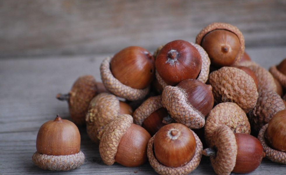 What you can do with acorns at home
