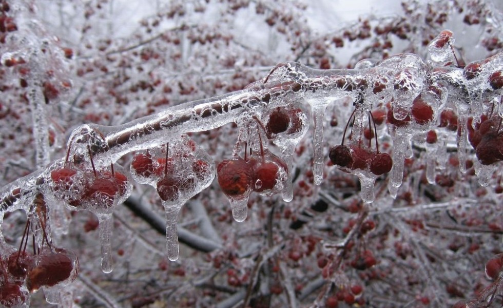 Protecting fruit trees in winter from frost