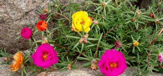 Moss rose in the garden