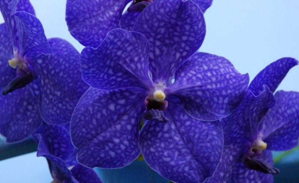 Vanda orchid care at home