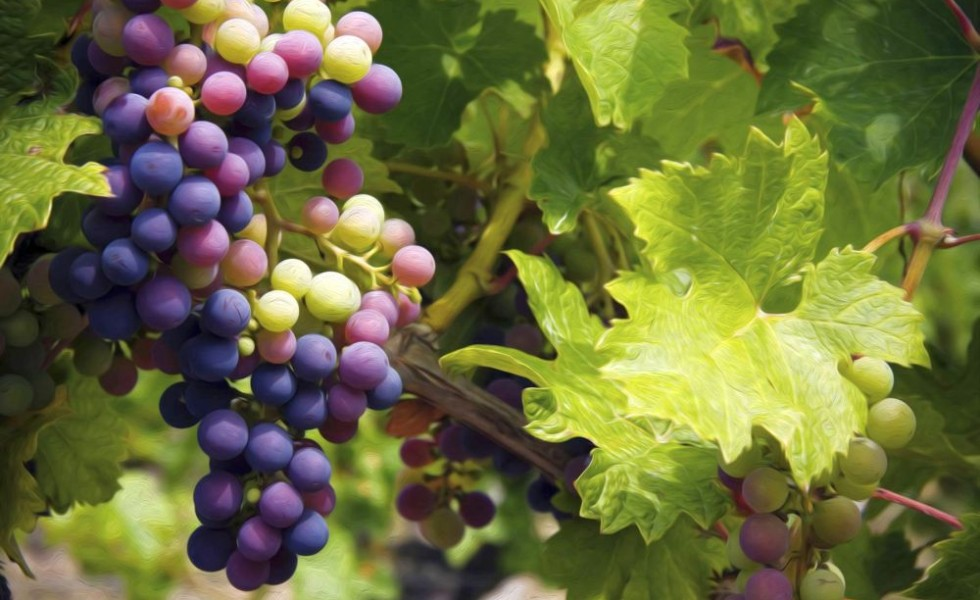 How To Prune And Train The Grapevine