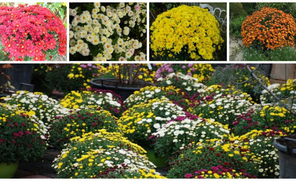 chrysanths for a colorful garden