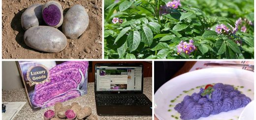 growing purple potatoes