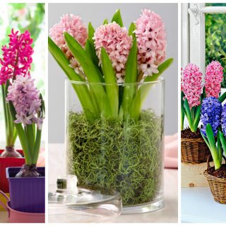 planting hyacinths in pots