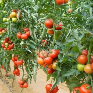 healthy pesticide free tomatoes