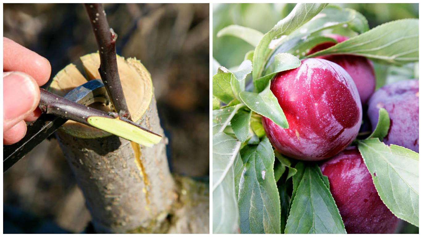 how to graft a plum tree
