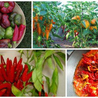 planting a pepper garden