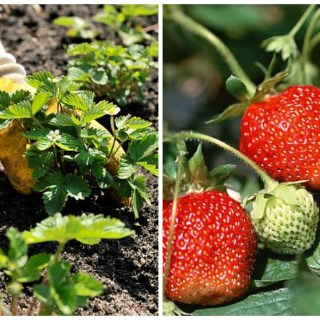 how to plant strawberries in spring
