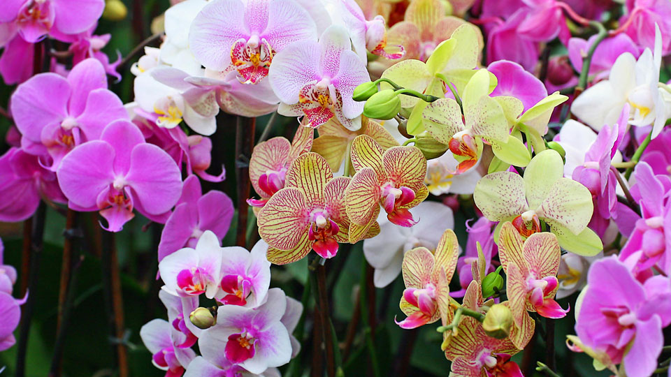 the orchid - a complete caring for guide