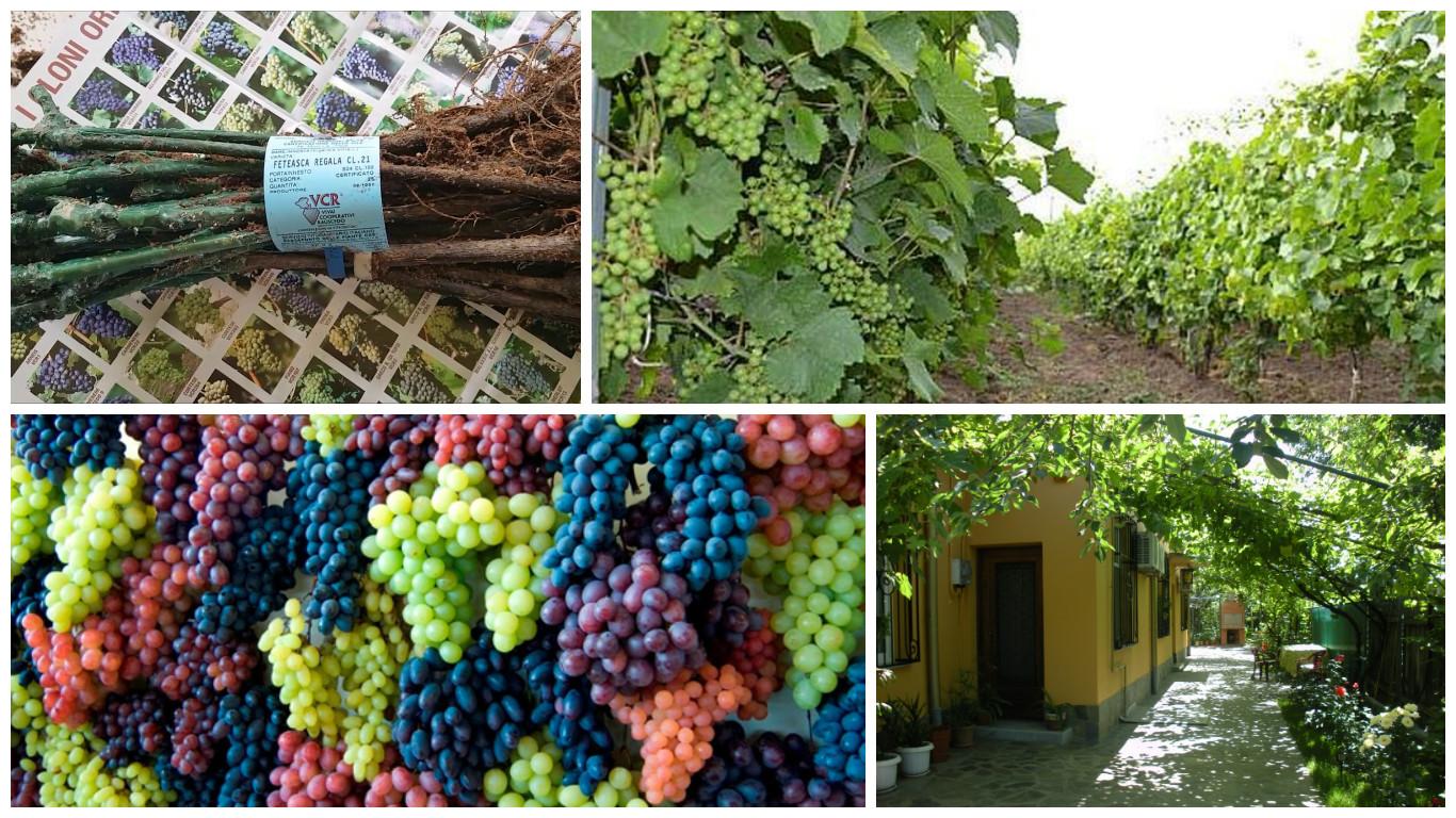 planting grapevine in springtime