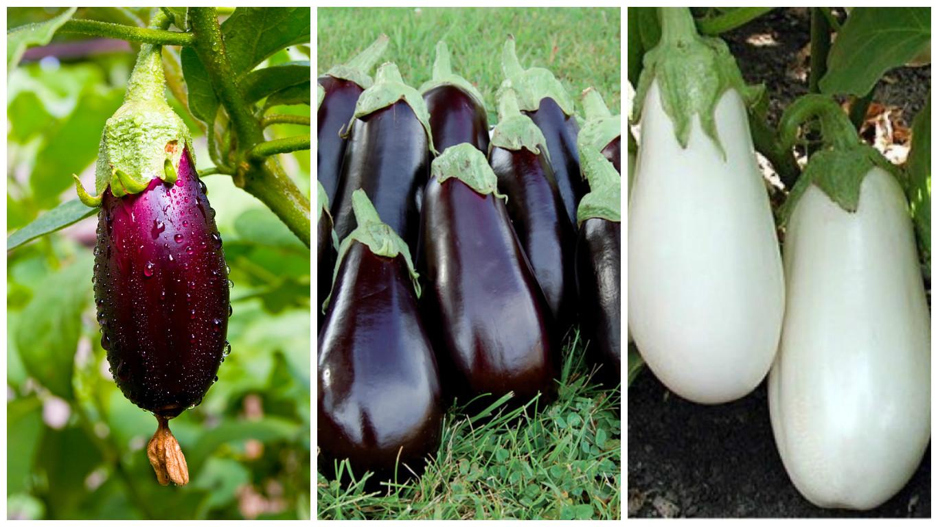 Romanian eggplant cultivars