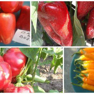 the best Romanian pepper cultivars