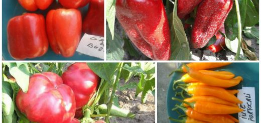 the best Romanian pepper cultivars