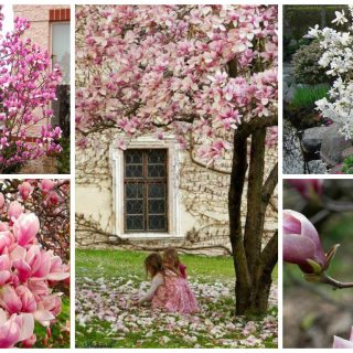 how to plant a magnolia