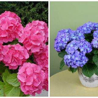 how to care for potted hydrangea
