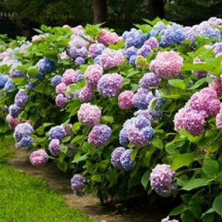 caring for hydrangea in your garden