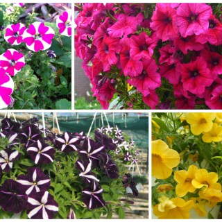 Growing Petunias In Pots For Colorful Balconies And Porches