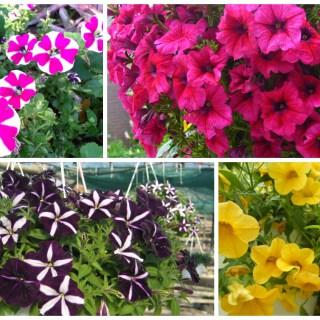 growing petunias in pots